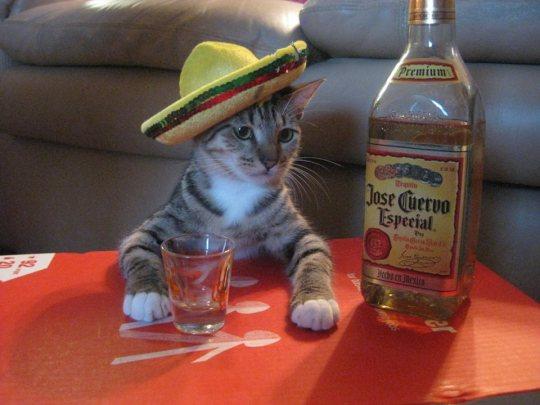 gato festejando