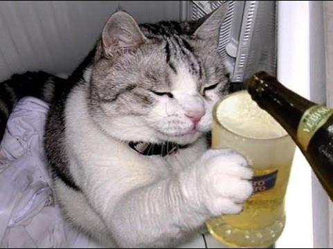 gato piripi